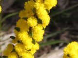 Acacia-acinacea