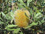 Banksia-ornata-Desert-Banksia