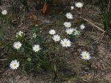 Chrysocephalum-baxteri-Fringed-or-White-everlasting-Brisbane-ranges-Oct-2009-3