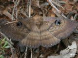 Granny's-Cloak-Moth-Speiredonia-spectans