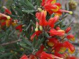 Grevillea-alpina-Cat's-claws