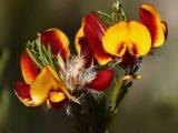 Loose-flower-Parrot-pea,-Harrow-Road