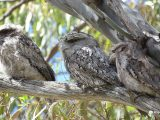 Tawny-frogmouths