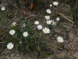 Chrysocephalum-baxteri-Fringed-or-White-everlasting-Brisbane-ranges-Oct-2009-3