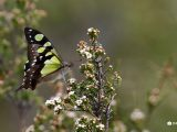 Macleay's-Swallowtail-butterfly,-Mt-Baw-Baw
