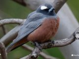 White-browed-woodswallow